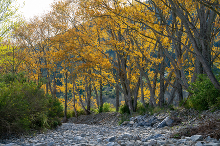 Trees with new spring growth with autumn colours lining stony dry river bed in South Island New Zealand.