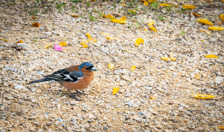 Chaffinch small colorful bird on ground
