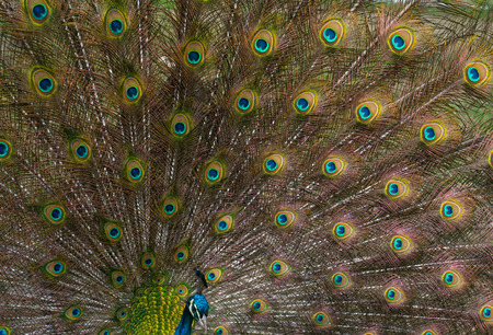 Peacock displaying its brilliant tail feathers