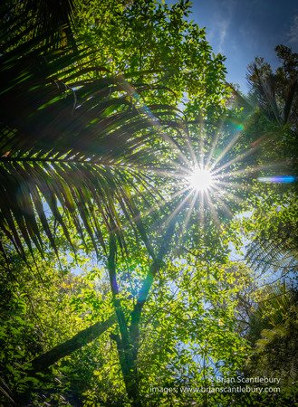 Lens flare through overhead branches and silhouette fern fronds along The Grove native bush walk near Pohara South Island Stockfoto