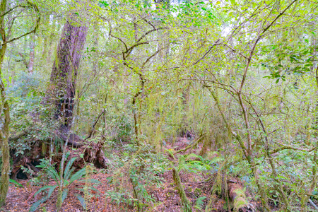New Zealand native bush, tangled trees, branches and vives with moss, lichen and wilderness.