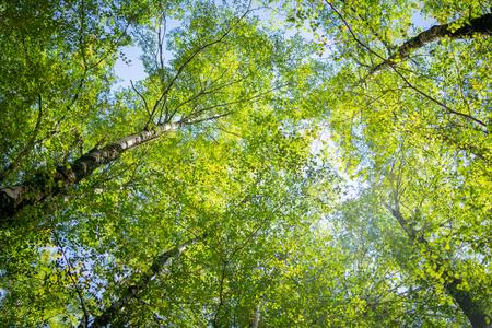 Overhead birch tree canopy of branches and lime green leaves through towering tree trunks and spindly branches. Stock fotó