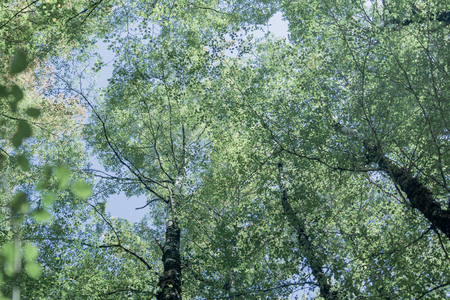 Overhead birch tree canopy of branches and lime green leaves through towering tree trunks and spindly branches faded colors retro effect image. Stock fotó