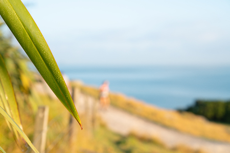 Blade of flax  with dew in morning light and view from Mount Maunganui of walking track and blue Pacific beyond with defocused person out for morning walk in background