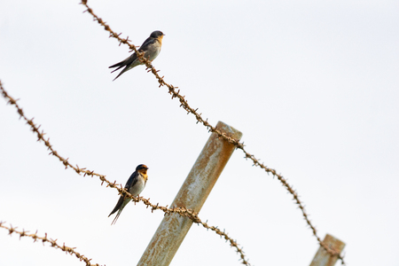 Contrast between harsh rusty barbed wire and small fragile welcome swallow