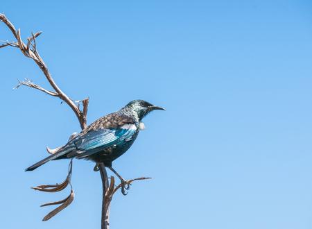 New Zealand tui bird on dead flax stem against blue sky. Stock Photo