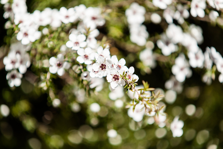 flowering plant in the myrtle family  New Zealand manuka in full and prolific seasonal spring bloom.