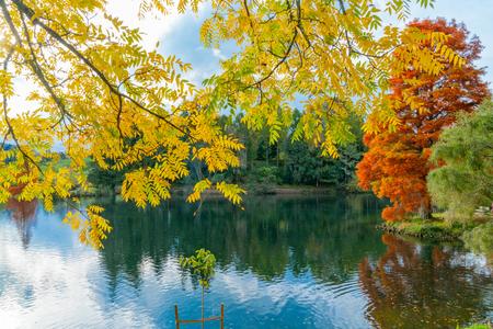 Bright autumn yellow black walnut tree leaves  over lakd at McLaren Falls Park with lens flare Tauranga New Zealand.