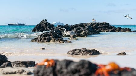 Focus on giant Blue heron wading on rocky shore in Galapagos Islands with tourist boats on horizon in selective focus. Banco de Imagens
