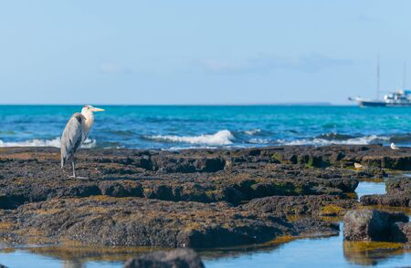 Giant Blue heron on rock in Galapagos Islands with tourist boat on horizon in selective focus.