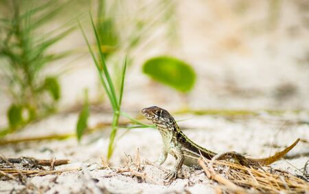 Lizard portrait with head up on sand with head up looking around and green vegetation behind.