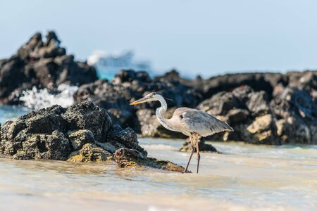 Focus closeup on giant Blue heron wading on rocky shore in Galapagos Islands with tourist boats on horizon in selective focus.