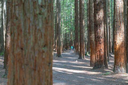 Whakarewarewa Redwood Forest in Rotorua.