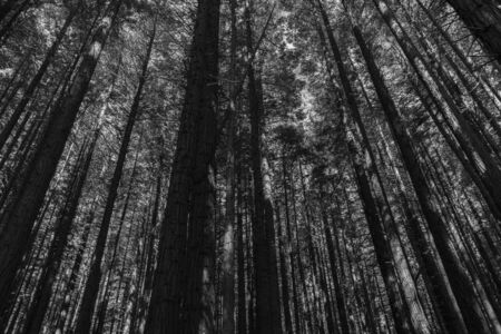 Monochrome dense forest of converging tall trees Whakarewarewa Redwood Forest in Rotorua.