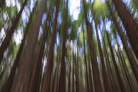 Painterly abstract effect tall trees with green foliage in Whakarewarewa Redwood Forest in Rotorua.
