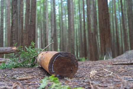 Sawn and barked log on floor of Whakarewarewa Redwood Forest in selective focus in Rotorua New Zealand.