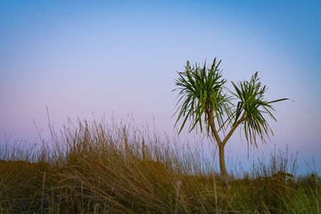Dune landscape at dawn with beach vegetation of ficina and the New Zealand cabbage tree standing out against morning sky.