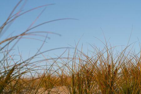 Golden glow of sedge growing on sand as dune protection at Papamoa, Tauranga New Zealand.