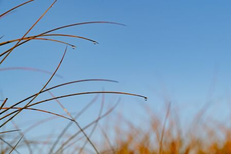 Golden glow of sedge and a dew drop growing on sand as dune protection at Papamoa, Tauranga New Zealand. Banco de Imagens