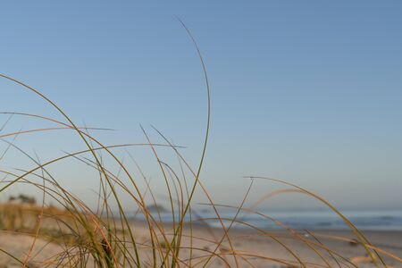Golden glow of sedge growing on sand as dune protection at Papamoa, with Mount Maunganui in distance, Tauranga New Zealand.