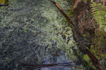 Thermal pool and stream with old tree branches lying in bottom of clear water with algal growth in Whakarewarewa Redwood Forest in Rotorua New Zealand.