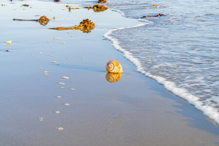 Large seashell and washed up kelp on sand reflected in wet sand with beach and sea background at Papamoa Tauranga, New Zealand