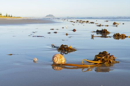 Large seashell and washed up kelp on sand with beach and sea background at Papamoa Tauranga, New Zealand 版權商用圖片