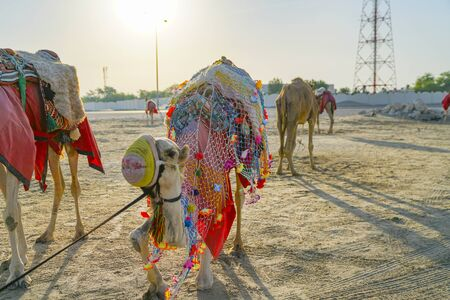 Camels waiting in desert to provide rides for tourists, in colorful rugs and covers tied up.