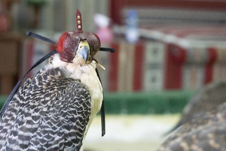 Falcons used in the ancient art and sport of Arabic falconry, in Doha. Stock Photo