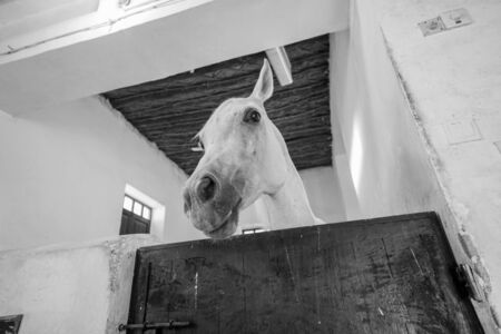 White horse in stable with one ear up looking over stable door in monochrome image.