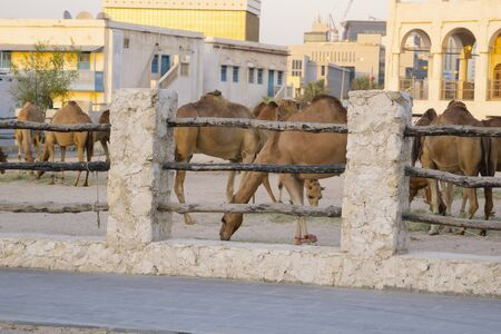 Compound full of camels in the centre of Doha, Qatar, with Souq Waqif in the background. Kings guard camels grazing unconcerned at being in middle of city. Фото со стока