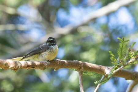 New Zealand fantail  on redwood branch with tree foliage background. Banque d'images - 130816618