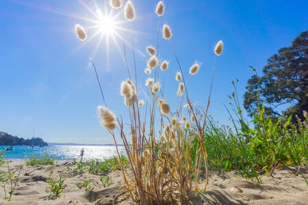 Rabbit tail fluffy seed heads growing on beach from low perspective with lens flare.