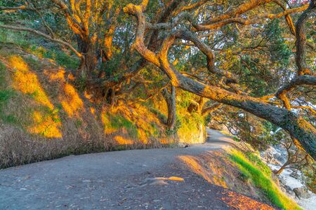 Sun shines low and through tangled branches of puhutukawa trees and across walking track on base of Mount Maunganui, Tauranga, New Zealand. Stock Photo