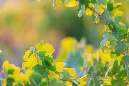 Sunrise glow back-lighting grape vines as horticultural or agricultural background image