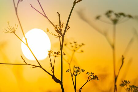 Energy and golden color of rising sun behind silhouette of fennel wildflower