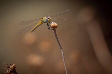 Dragonfly Mediterranean hawker (Aeschna affinis) male, closeup.