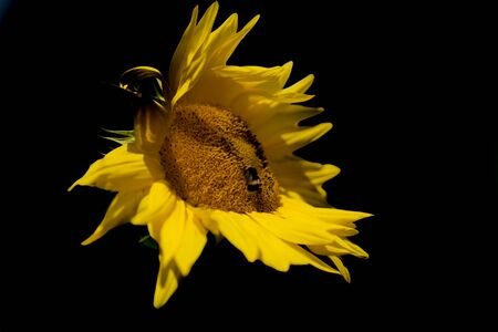 Single raggedy sunflower in monochrome black and yellow.