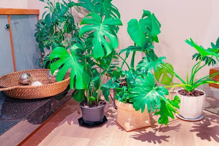Home interior image of popular large leafed potted indoor plants with shadow patterns of leaves on wooden floor. Banque d'images