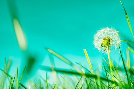 Green field low point of view with selective focus closeup grass with dandelion seed head retro color tones.