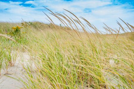 Marram grass blowing in wind on beach in coastal New England USA