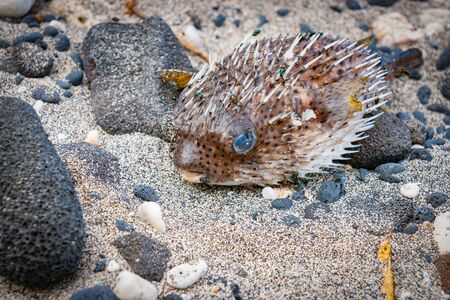 Porcupine fish washup and inflated on beach with green flies