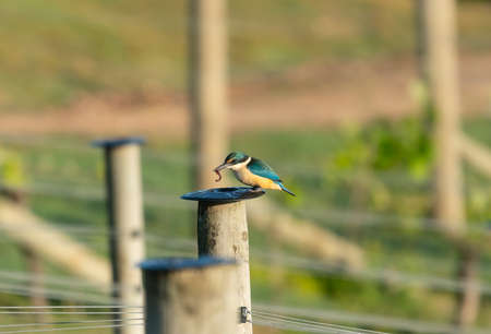 Vineyard kingfisher on post on Waiheke Island in New Zealand with worm for breakfast.