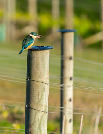 Vineyard kingfisher on vineyard post with worm in beak on Waiheke Island in New Zealand