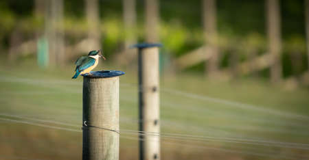 Vineyard kingfisher on  post on Waiheke Island in New Zealand dealing to a worm for breakfast.