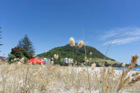 Fluffy seed head or flower of hare's tail grass on Main Beach Mount Maunganui in selective focus with landmark mountain in background. 版權商用圖片