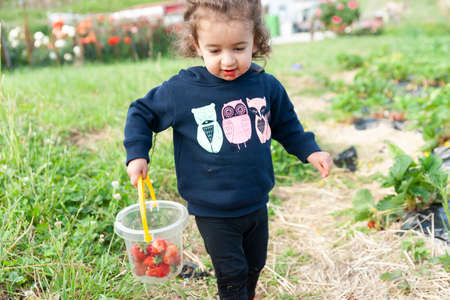Tauranga New zealand - December 17 2015; Little girl holding bucket of strawberries in patch.