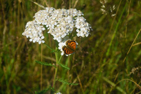 Common copper butterfly on white wildflower