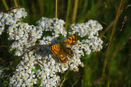 White Achillea millefolium wildflower with common copper butterfly. closeup.