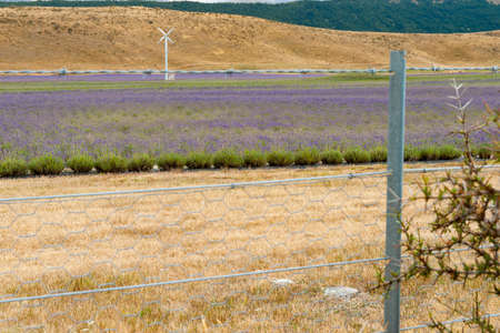 Lavender growing through wire fence in dry field in Mackenzie Basin in South Ilsand New Zealand.